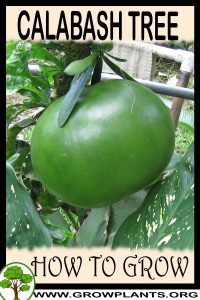 How to grow Calabash Tree