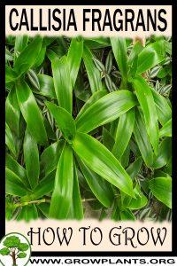 How to grow Callisia fragrans