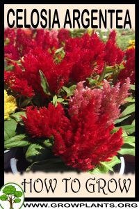 How to grow Celosia argentea