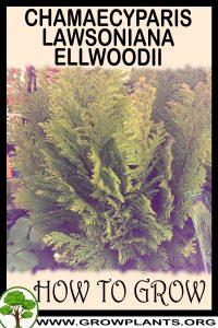 How to grow Chamaecyparis lawsoniana ellwoodii