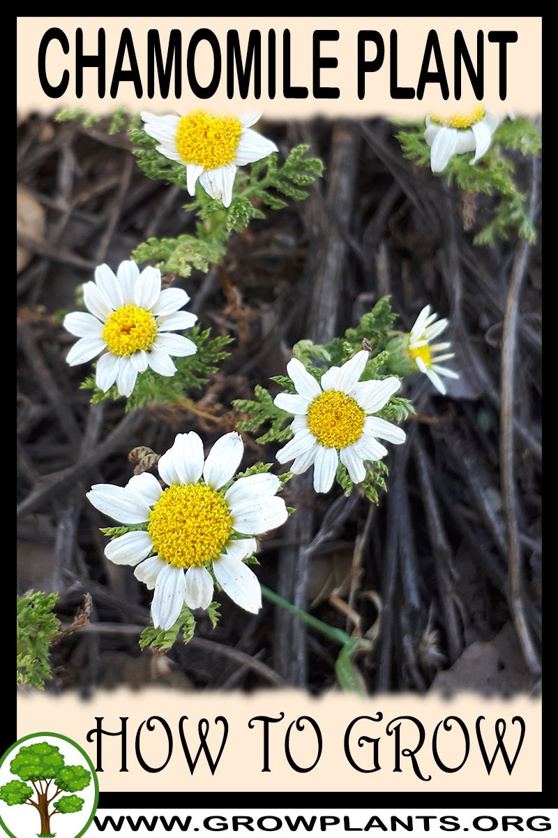 How to grow Chamomile plant