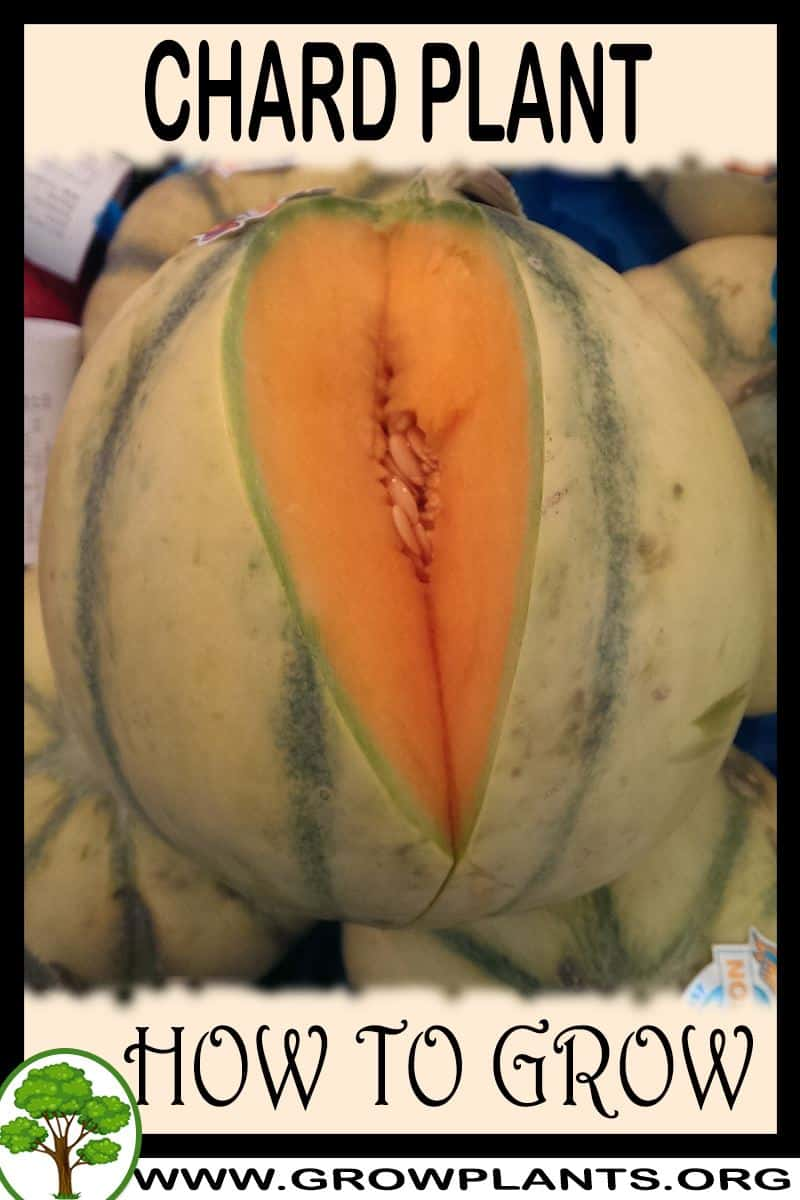 How to grow Charentais melon