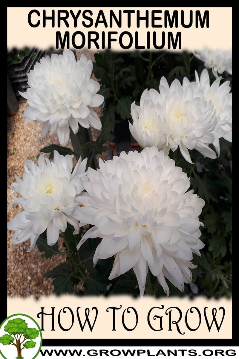 How to grow Chrysanthemum morifolium