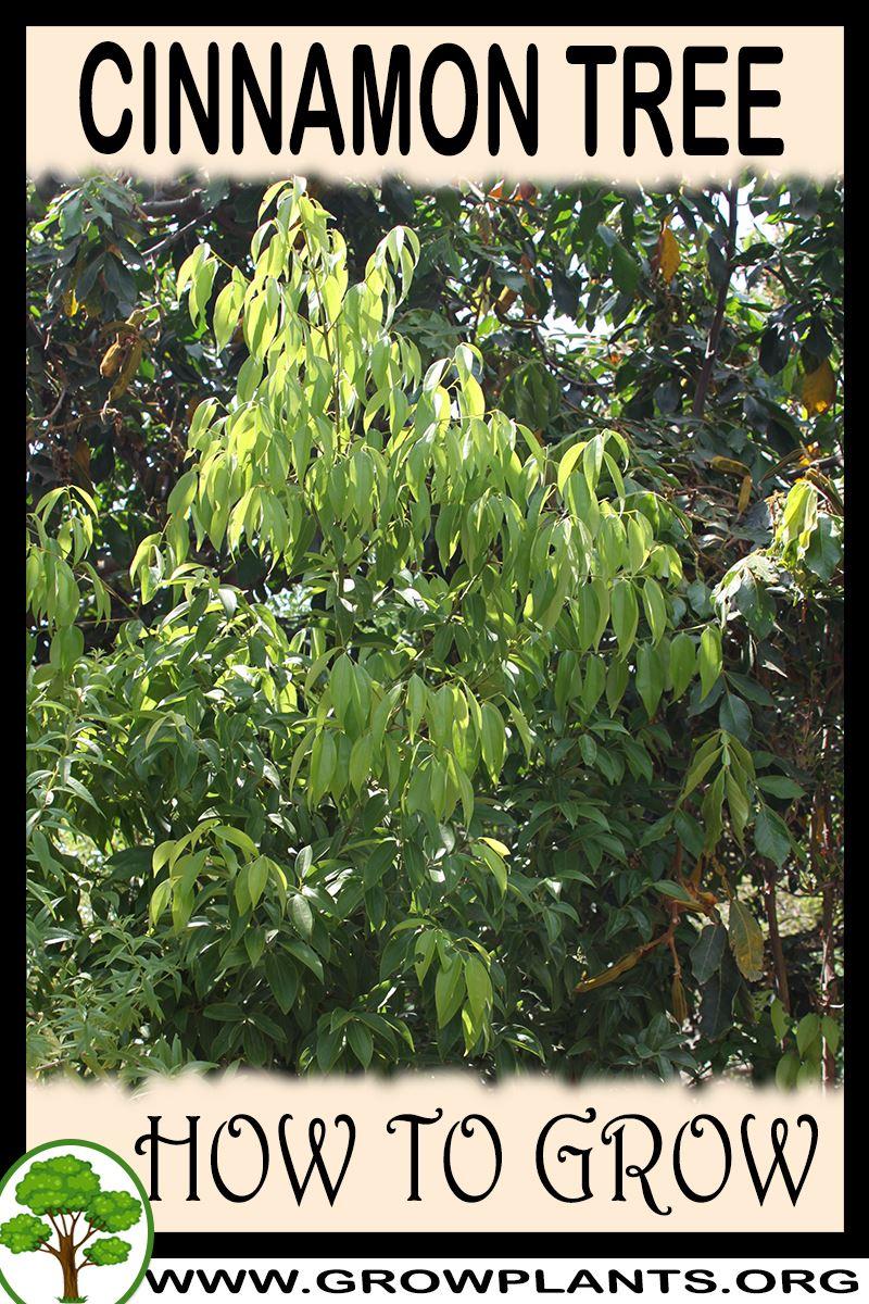 How to grow Cinnamon tree