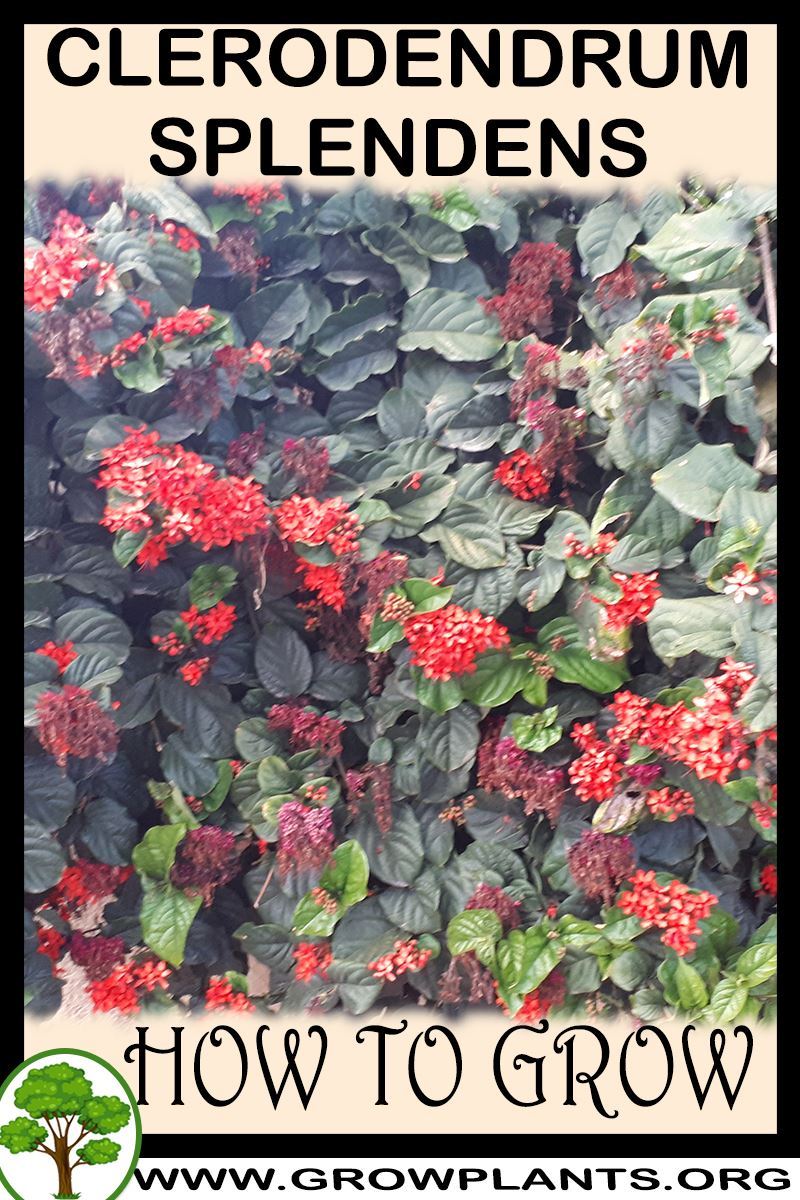How to grow Clerodendrum splendens