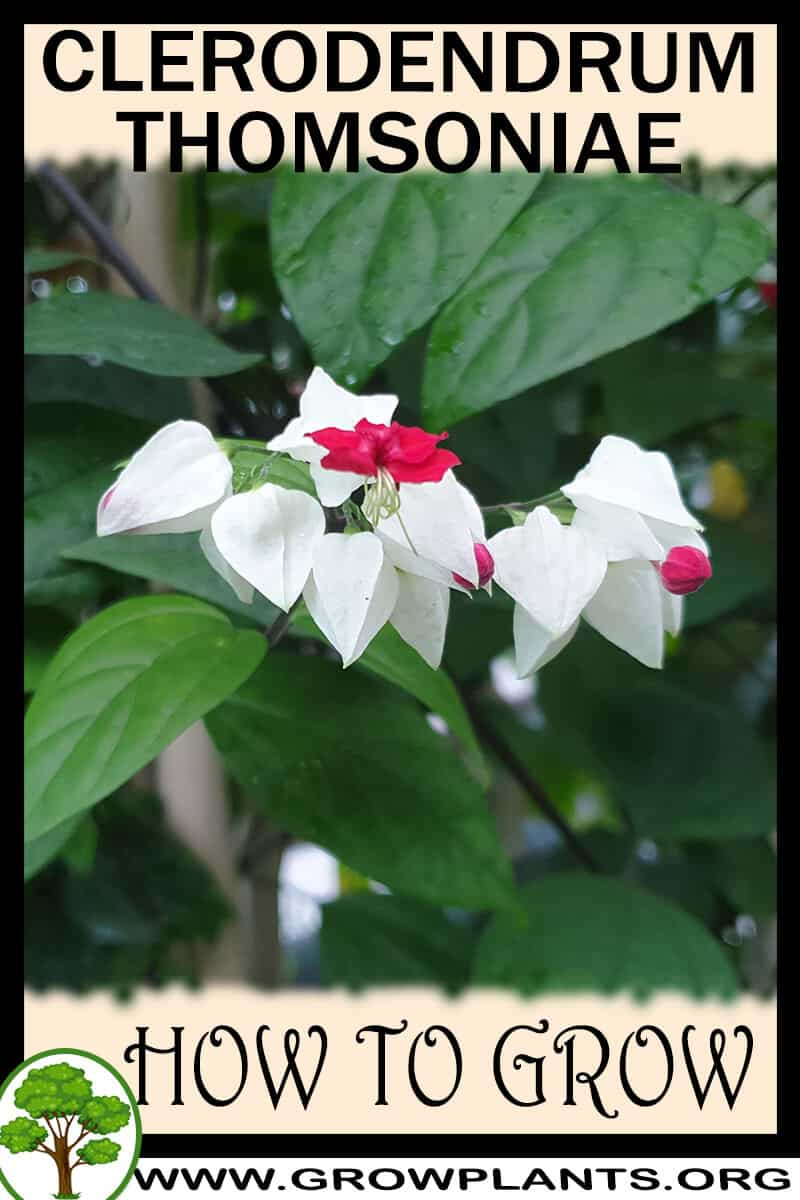 How to grow Clerodendrum thomsoniae