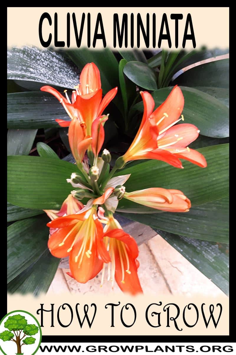 How to grow Clivia miniata