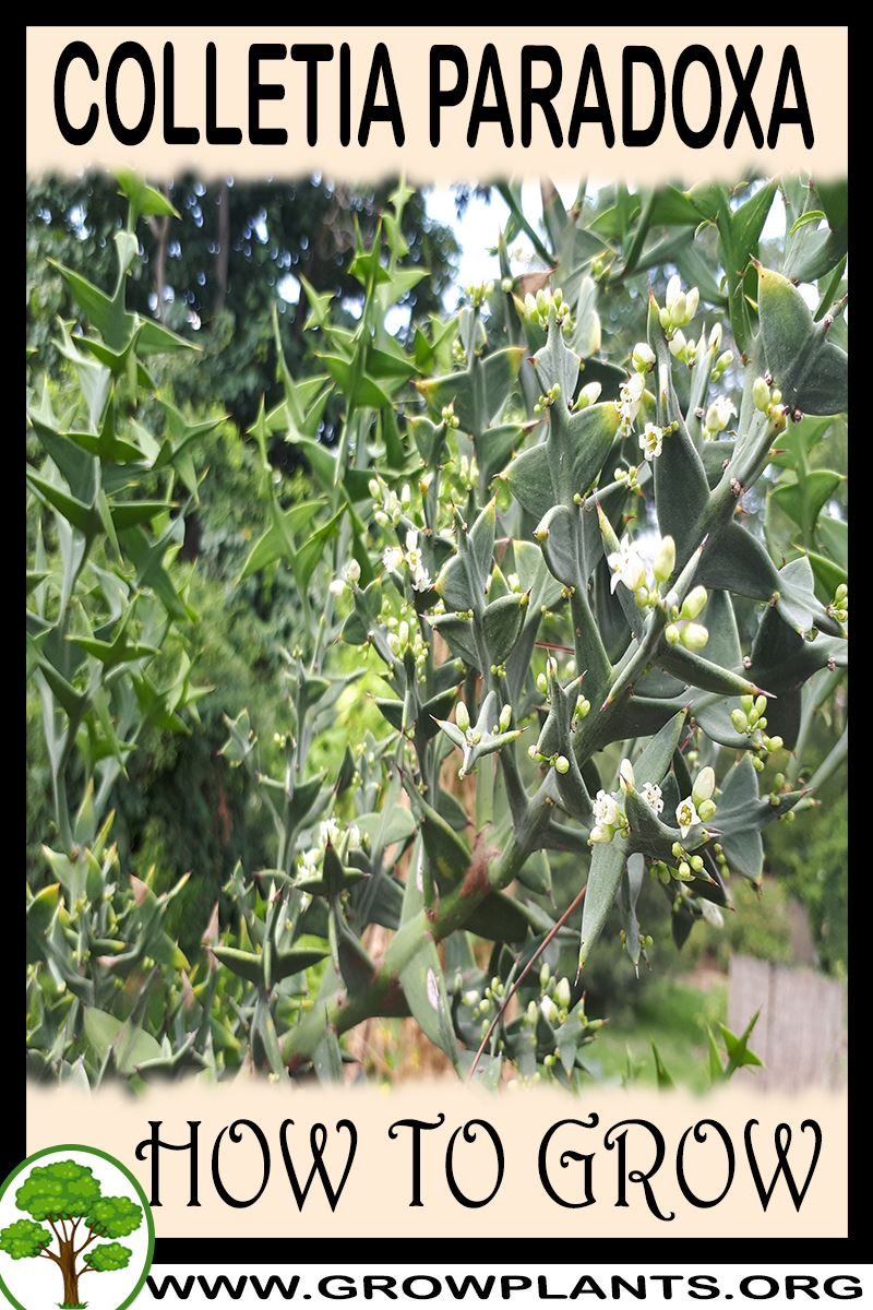 How to grow Colletia paradoxa
