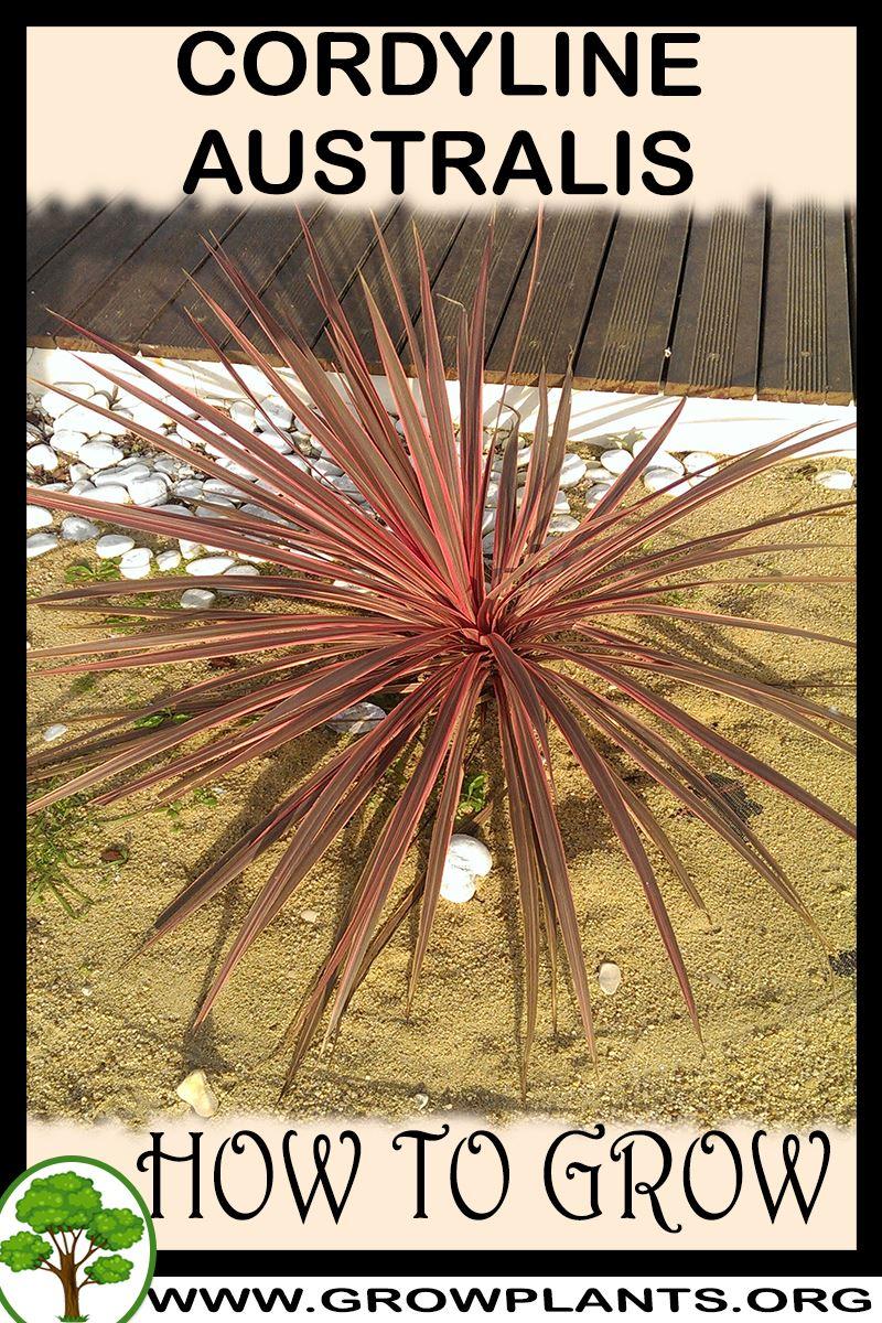 How to grow Cordyline australis