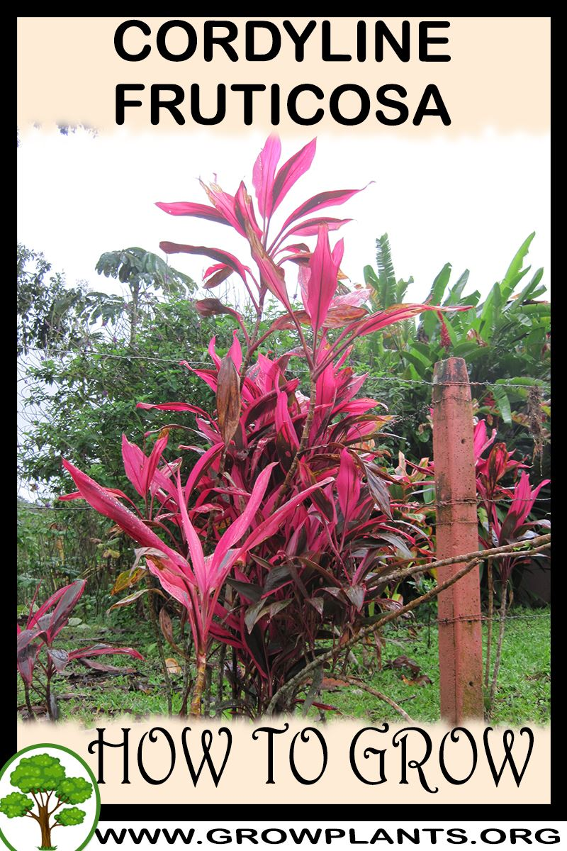 How to grow Cordyline fruticosa