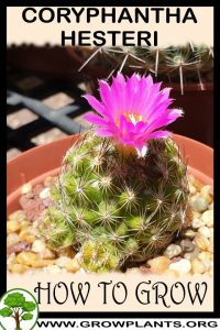 How to grow Coryphantha hesteri