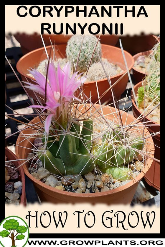 How to grow Coryphantha runyonii