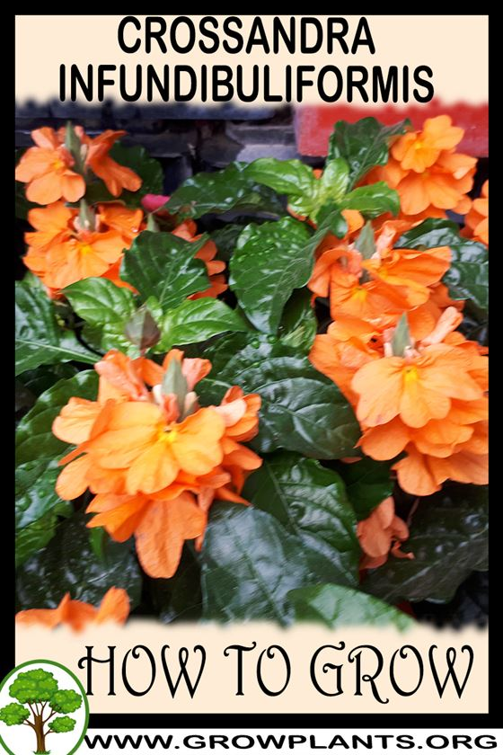 How to grow Crossandra infundibuliformis