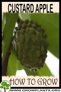 How to grow Custard apple tree
