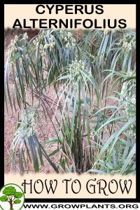 How to grow Cyperus alternifolius