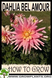 How to grow Dahlia Bel amour