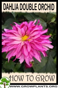How to grow Dahlia Double Orchid