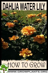 How to grow Dahlia Water lily