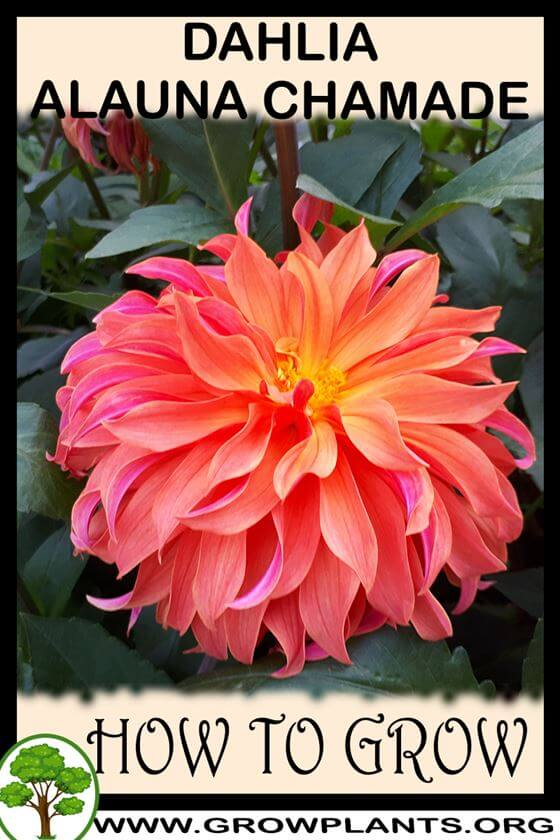 How to grow Dahlia alauna chamade