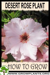 How to grow Desert rose plant