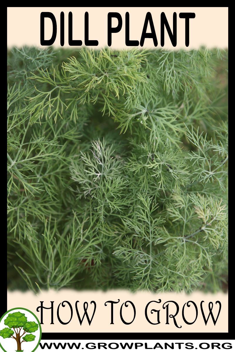 How to grow Dill plant
