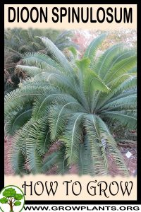 How to grow Dioon spinulosum