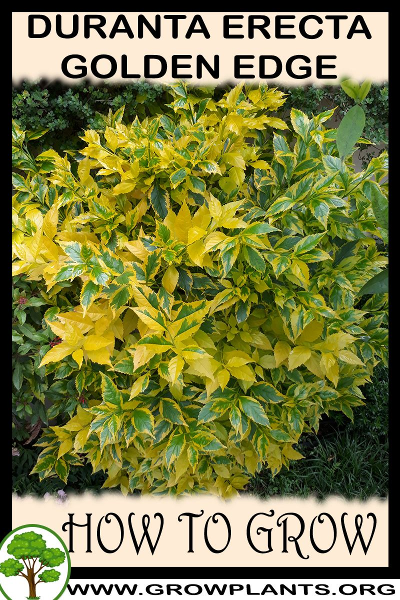 How to grow Duranta erecta Golden edge