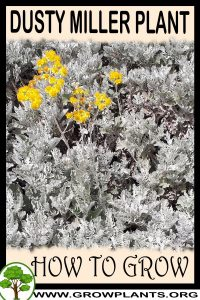 How to grow Dusty miller plant
