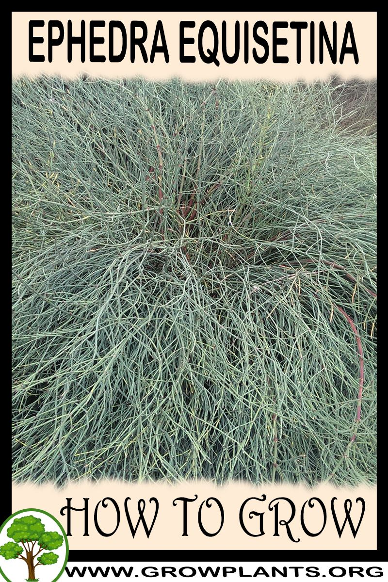 How to grow Ephedra equisetina