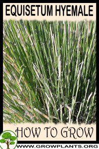 How to grow Equisetum hyemale