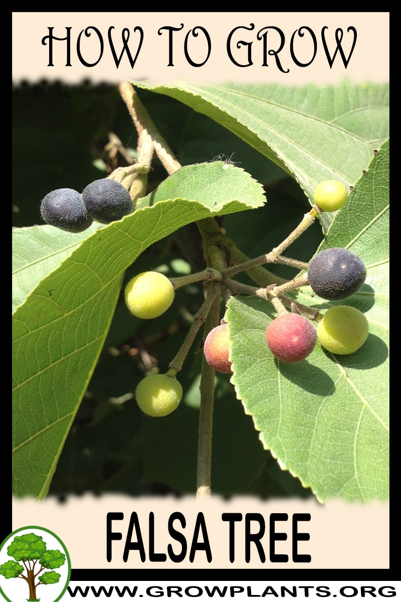 How to grow Falsa tree