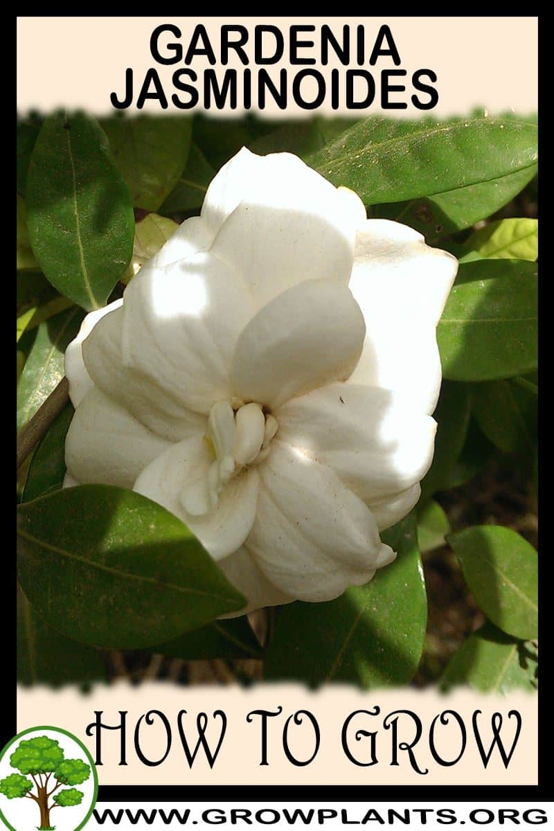 How to grow Gardenia jasminoides