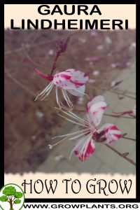 How to grow Gaura lindheimeri