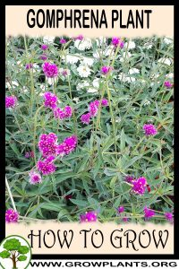 How to grow Gomphrena