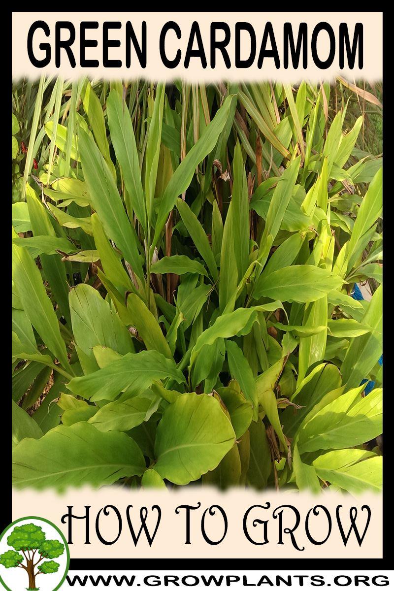 How to grow Green cardamom