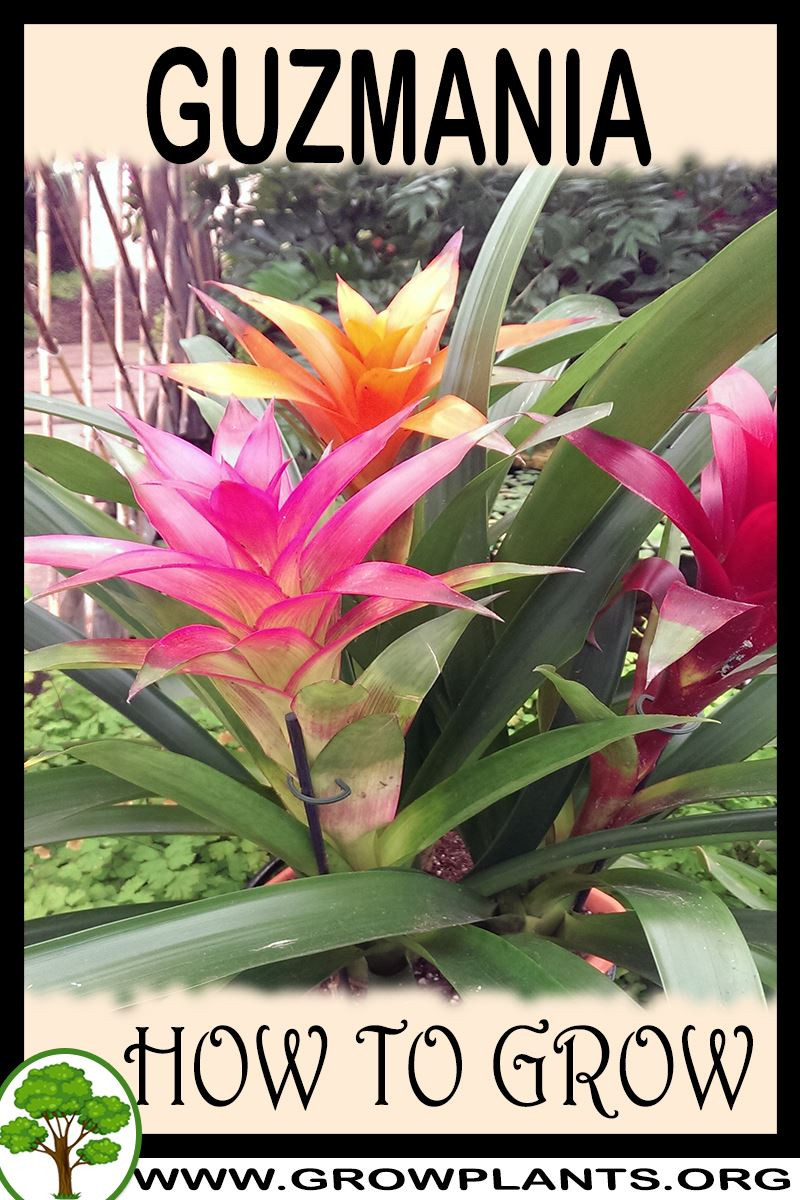 How to grow Guzmania