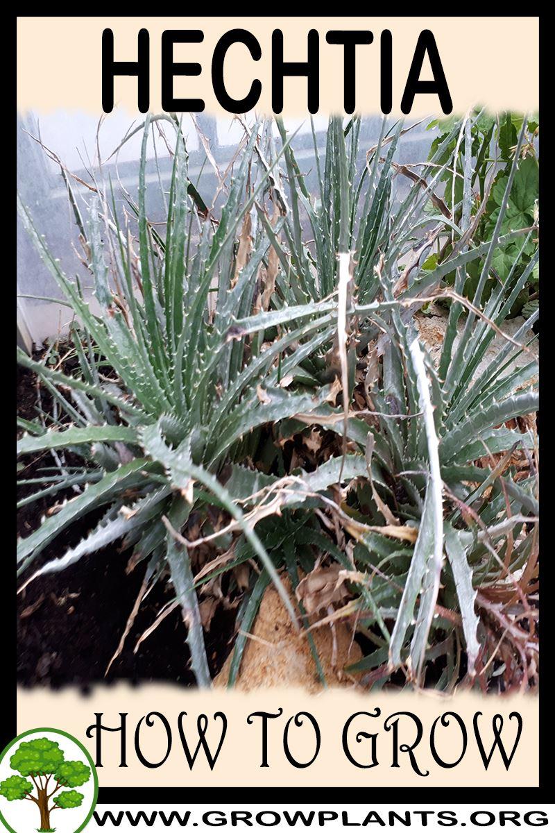 How to grow Hechtia