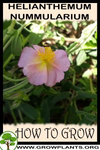 How to grow Helianthemum nummularium