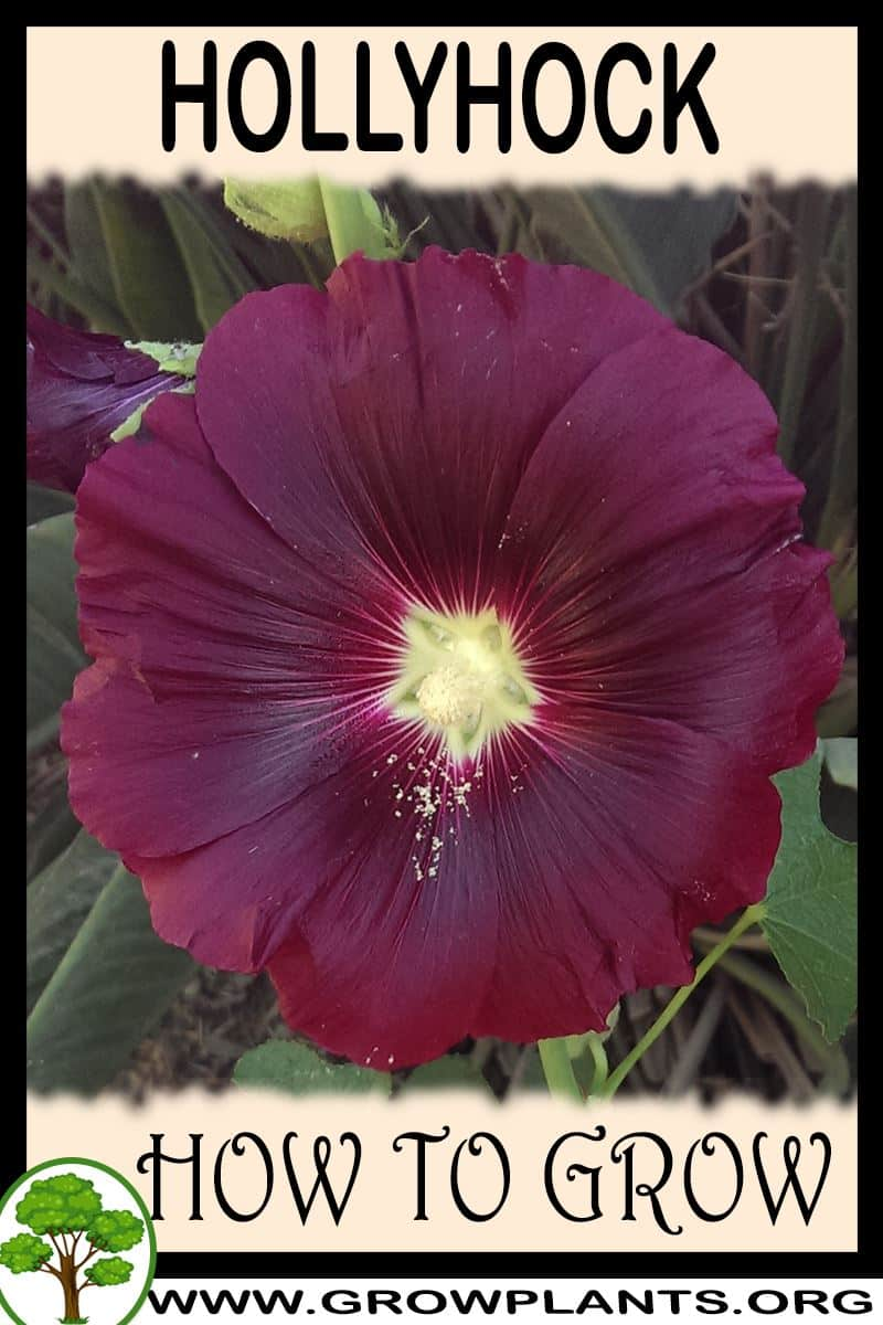 How to grow Hollyhock