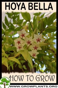 How to grow Hoya Bella