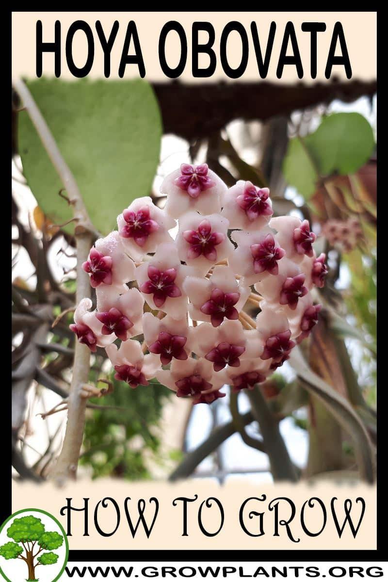 How to grow Hoya Obovata