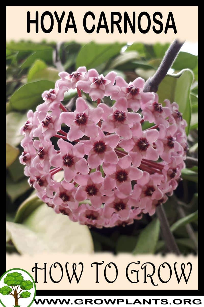 How to grow Hoya carnosa