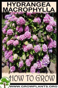 How to grow Hydrangea macrophylla