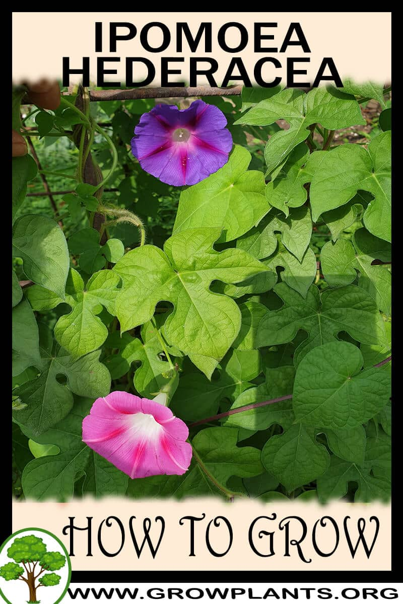 How to grow Ipomoea hederacea