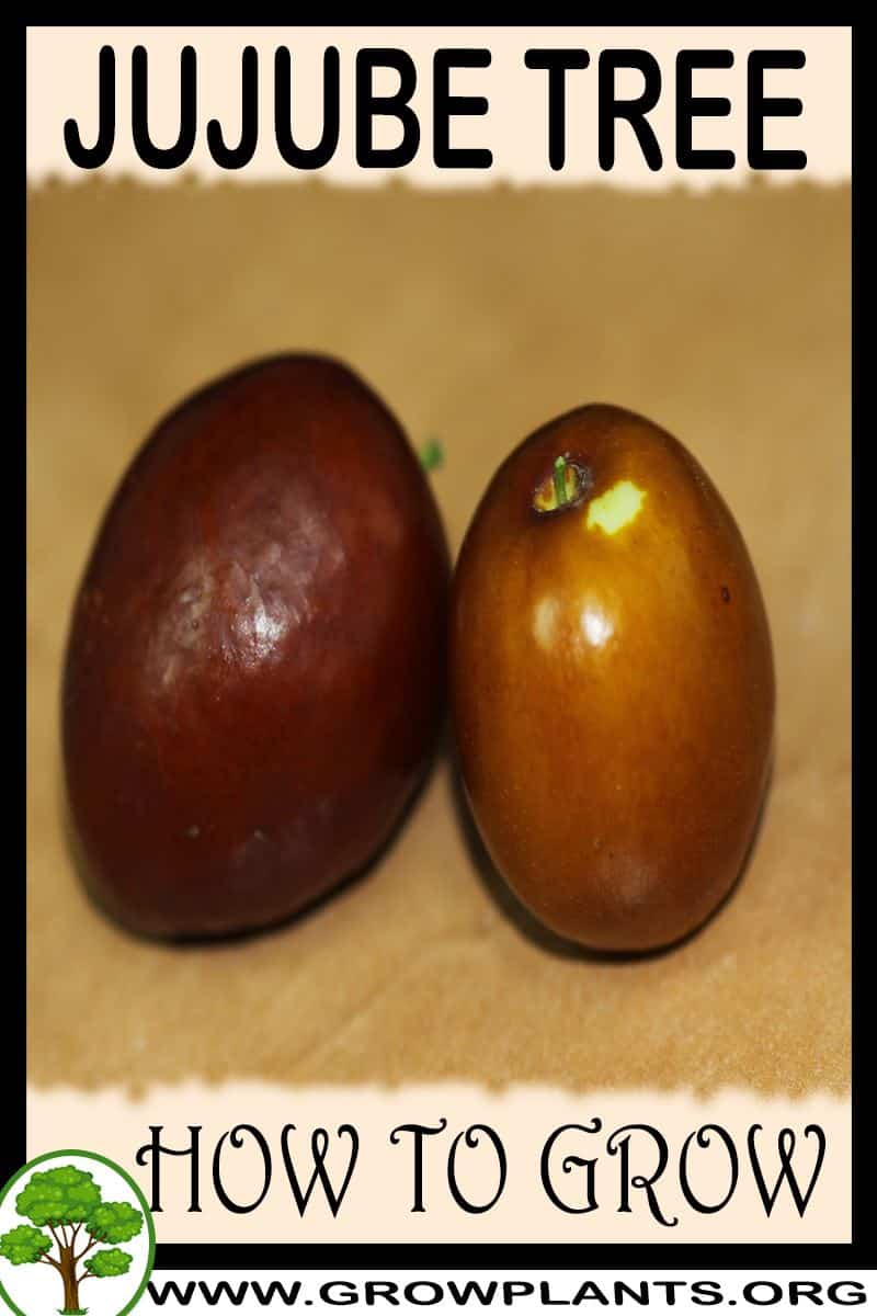 How to grow Jujube tree