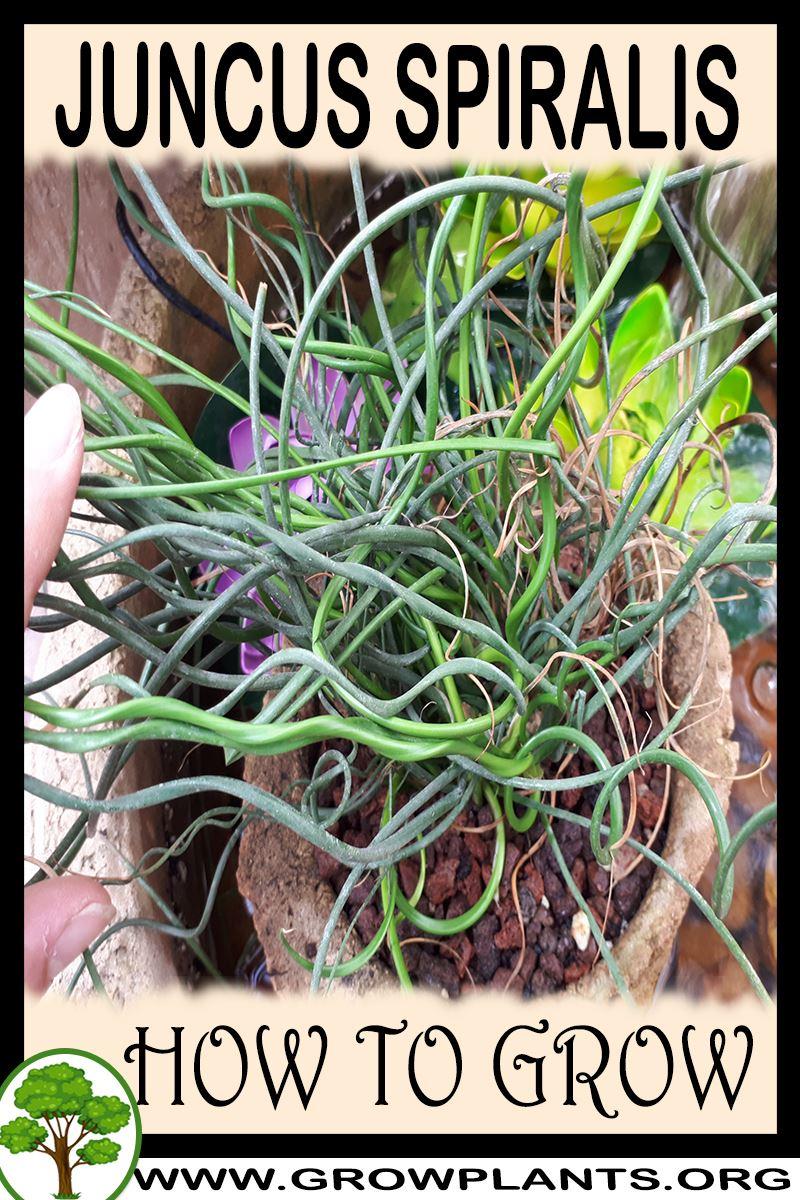 How to grow Juncus Spiralis