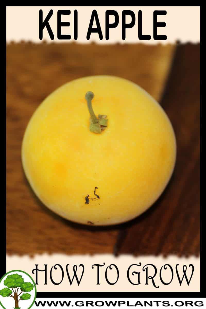 How to grow Kei apple