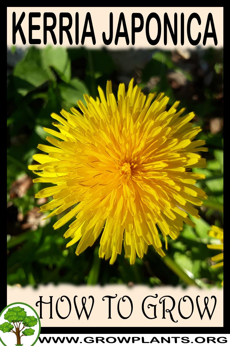 How to grow Kerria japonica