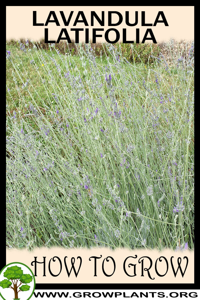 How to grow Lavandula latifolia