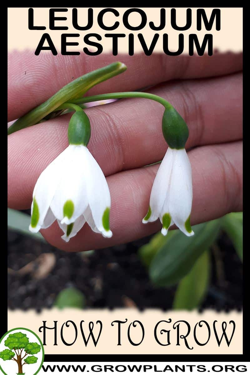 How to grow Leucojum aestivum